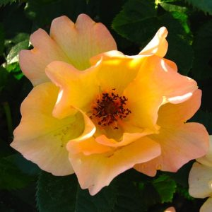 Delicate salmon pink and yellow rose bloom.