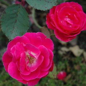 Two semi-double fuschia rose blooms
