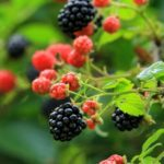Stems of red and black thorneless dwarf blackbey fruit against out of focus light green background.