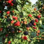 A medium green blackberry bush full of red and black fruits.