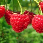 A cluster of shiny red raspberries hanging from a stem.