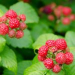 Two separate doomed clusters of light red raspberries against bright green foliage.