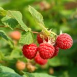 Small cluster of dull red raspberries on a stems end.