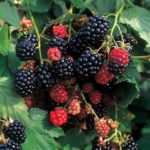 Clusters of red and black raspberries in front of medium green oblate foliage.