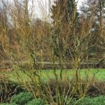 Leafless curly willow bush with twisted green branchces.