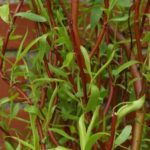 Bright red curly willow branches and new green leaves of young Salix erythroflexuosa.