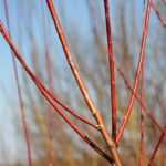 Rusty orange and red branches of red willow.
