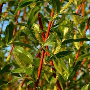 Rusty red willow canes