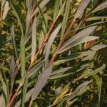 Dull red and gold willow stems covered in long slender dark bluish green leaves