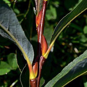 Tip of branch of Salix Purpurea Goldstones basket weaving willow