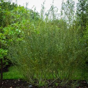 A tall upright fan shaped hedge of Salix purpurea 'reen dicks'