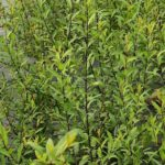 Straight dark burgundy stems of almond leaved willow with mid green leaves.
