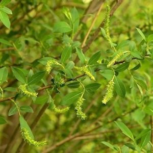 Branch of almond shaped leaves and yellow catkins of Black Maul willow.