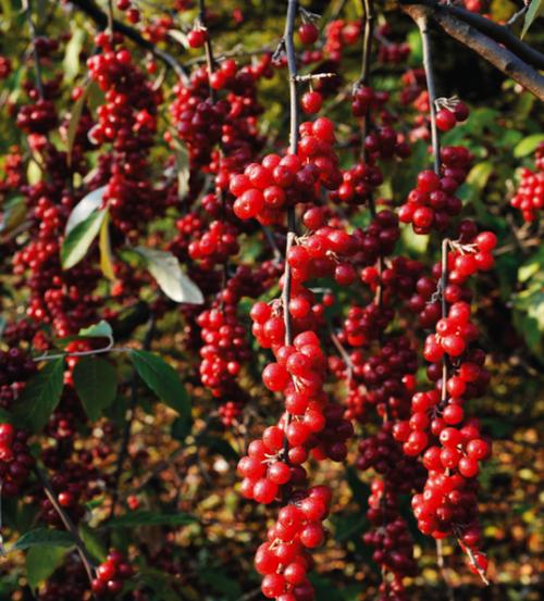 Long stems of deep red berries.