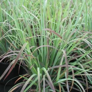 blue-green and orange-red upright grass blades.