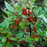 Shepherdia canadensis with thick