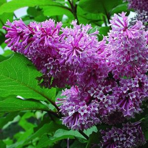 Lavender pink blooms of Royalty Lilac.