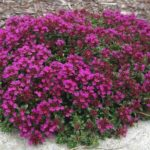 Red creeping thyme groundcover with magenta red flowers