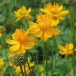 Bright golden yellow blooms of Trollius chinensis Golden Queen.