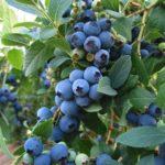 Light blue blueberries of vaccinium corymbosum bluecrop.