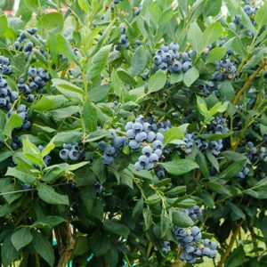 light blue blueberries of early season blueberry.