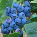 Cluster of Dwarf blueberry berries on the branch.