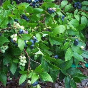 Dwarf blueberry branches of ripe and ripening blueberries.