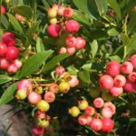 A Pink Lemonade blueberry bush with pink blueberries on the stem.