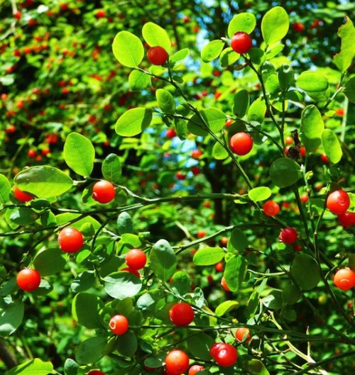 Red huckleberry bush with bright red berries