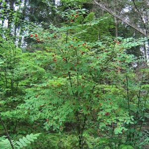 Small reddish green pot-shapped huckleberry flowers.