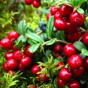 Vaccinium vitis-idaea red candy berries and small
