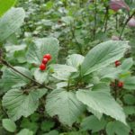 Bright red berries and large gree