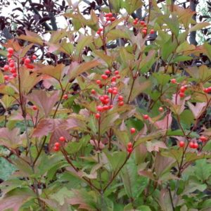Young dark red stems of squashberry.