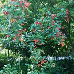 leathery leaves of Viburnum edule squashberry.