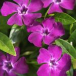 Pinky purple blooms of vinca minor atropurpurea ground cover.