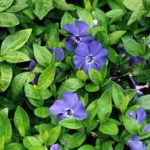 Trailing Bowles periwinkle with glossy green leaves and large violet-blue flowers.