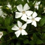 Ground cover of Small white periwinkle with glossy leaves and brilliant white flowers.