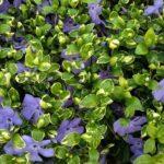 Vinca minor ralph shugert glossy green leaves
