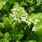 Green leaves and white flowers of the Daruma wasabi plant.